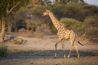 332 giraffes were translocated over a period of 5 years, some into areas where they had become locally extinct. Photo: Will Burrard-Lucas
