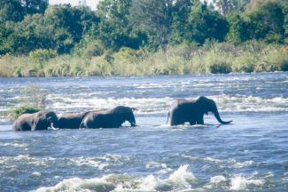Elephants crossing the Zambezi River between Zimbabwe and Zambia within KAZA.